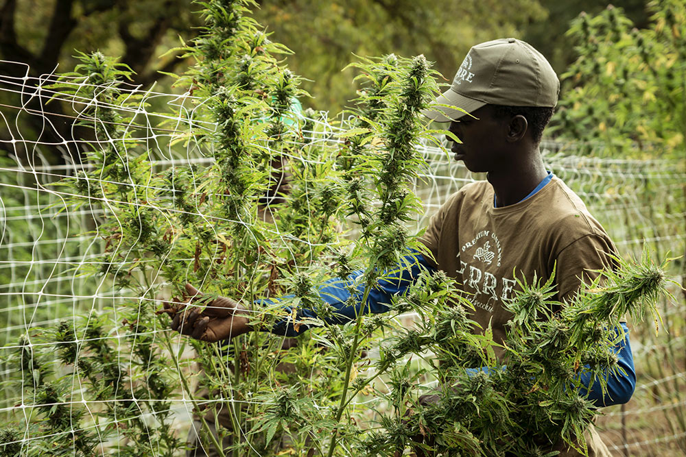 Lesotho, Africa's medical cannabis pioneer